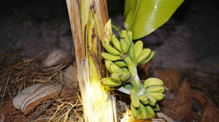 แห่ขอหวย! ต้นกล้วยหอมทองประหลาด ออกลูกกลางลำต้น