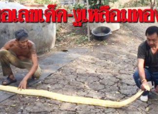หาปลาแต่ได้งู! หนุ่มหาปลาจับงูเหลือมทอง เซียนหวย ไม่พลาด!