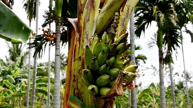 ผู้ช่วยผู้ใหญ่บ้านเมืองจันท์ ฝันเห็นพญานาค เช้าพบกล้วยไข่ออกลูกกลางต้น  แห่ขอเลขเด็ด!