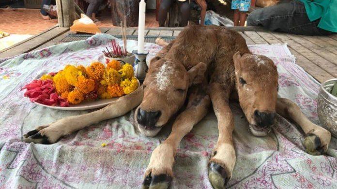 ช้าไปเพียงวันเดียว! ซากลูกวัวที่กระบี่ มี 2 หัว 6 ขา 2 หาง เจ้าของเชื่อว่าใหโชค