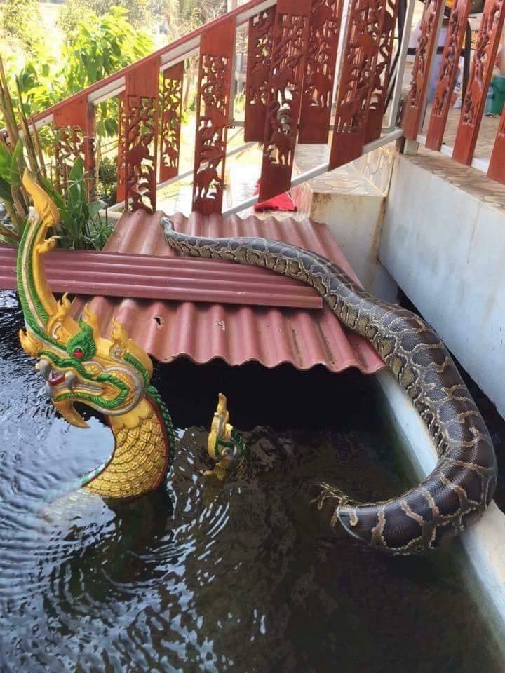 งูเหลือมลอกคราบออกไข่หลังวังบาดาลเจ้าแม่นาคีปู่ศรีสุทโธ
